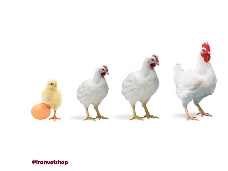 فروشگاه ایران وت-یکنواختی وزنی گله های گوشتی-پرورش مرغ گوشتی